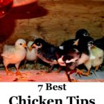 7 best chicken tips for brand spanking new chicken proprietors