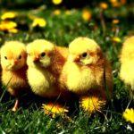 Chickens –
