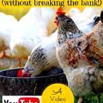Do you know the most typical mistakes that amateurs make when raising chickens the very first time?
