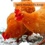 Greatest winter chicken mistakes (and the way to prevent them!)