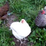 How you can raise chickens – about raising organic, backyard chickens