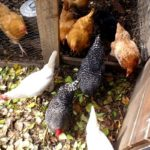 Presenting new chickens towards the flock step-by-step