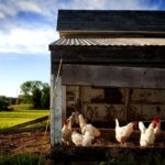 Raising chickens 101: building a chicken house