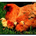 Raising lounging hens around the homestead