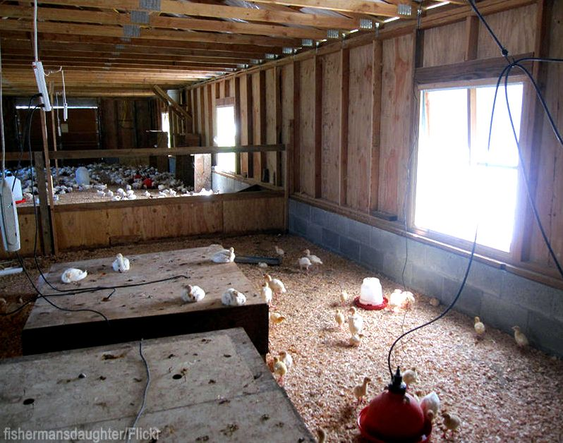 5 Common Brooder House Mistakes - Photo by fishermansdaughter #chicks #chickens