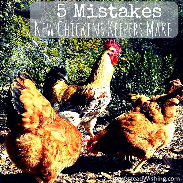 Mistakes new chicken keepers make. Raising chickens is probably a lot easier than you think. Try to avoid these five mistakes now that you know about them!  Homestead Wishing, Author Kristi Wheeler  http://homesteadwishing.com/mistakes-new-chicken-keepers-make/  chicken-mistakes, keeping-chickens, homesteading, homestead-wishing