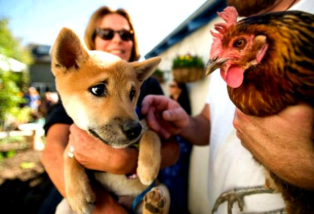 Chicken house tour in laguna beach offers a glance at back-to-basics living – oc register grass-roots-organized November classic