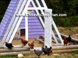 Feeding backyard chickens: 5 common errors to prevent The requirement for