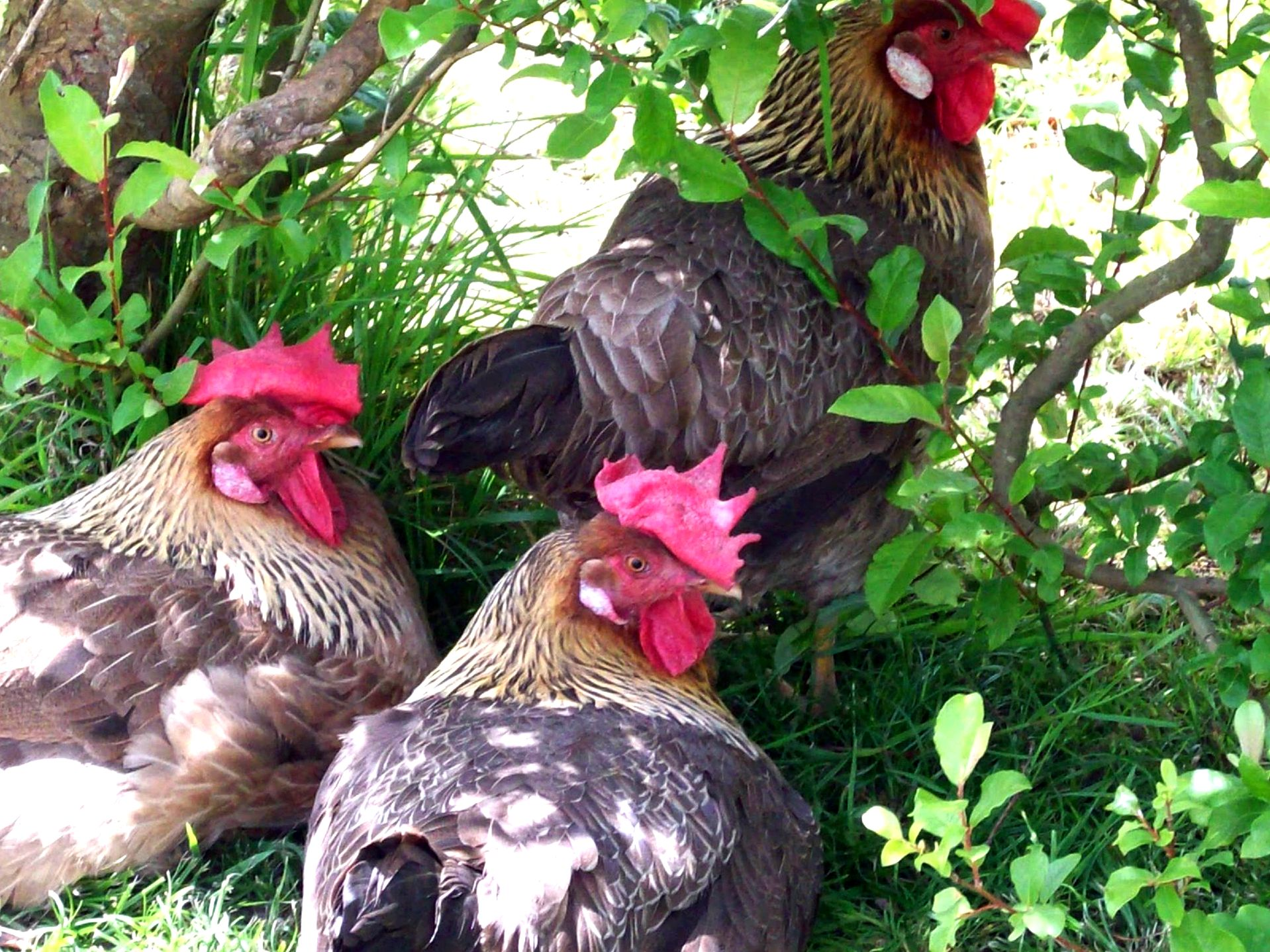 How to maintain your backyard chickens healthy during the cold months they have been heritage characteristics