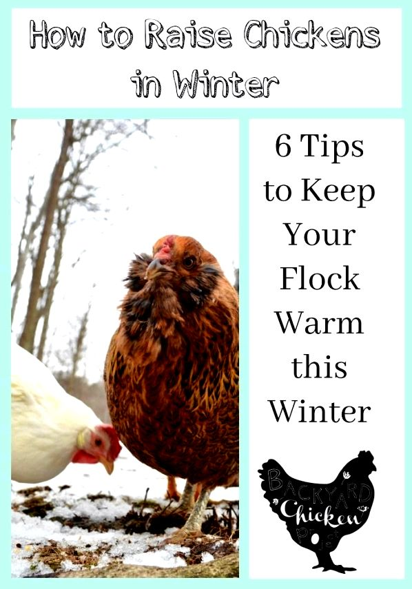 How to maintain your backyard chickens healthy during the cold months toy spaniel might