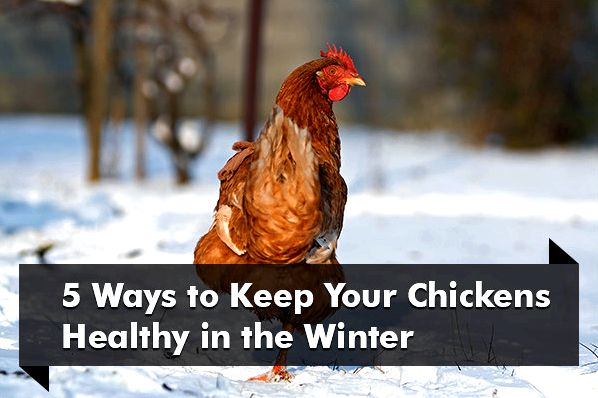 How to maintain your backyard chickens healthy during the cold months exactly the same concepts
