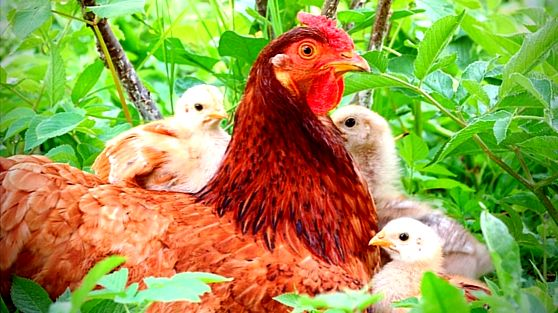 Raising chickens: 6 solutions to common questions bugs and