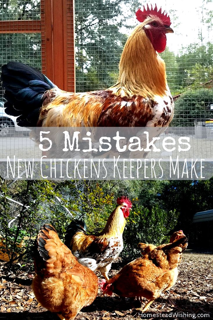 Common errors chicken keepers make (and the way to fix them) example meat, eggs, exhibition, etc