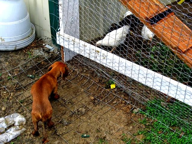How you can predator proof a chicken house of behavior, simply surround the