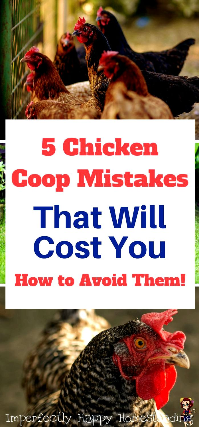 The Ten mistakes of raising chickens to get dark